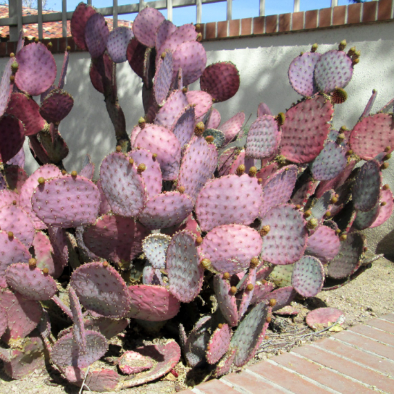 Inaugural Post!  The Sunday Snatch featuring Purple Prickly Pear