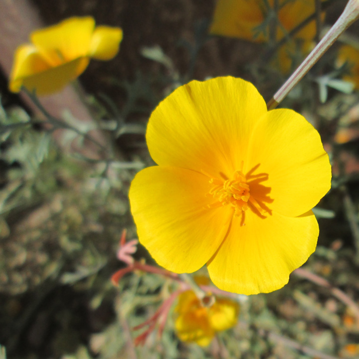 cal poppies 1