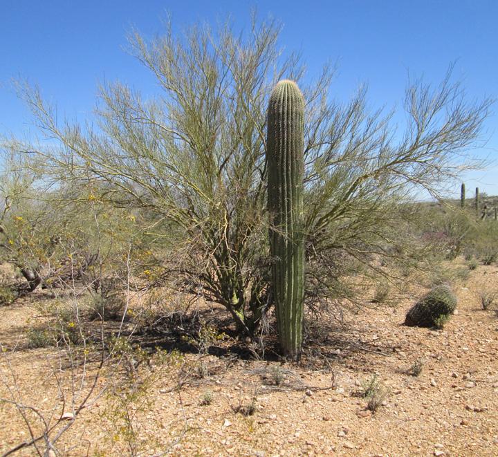 saguaro foothills 1