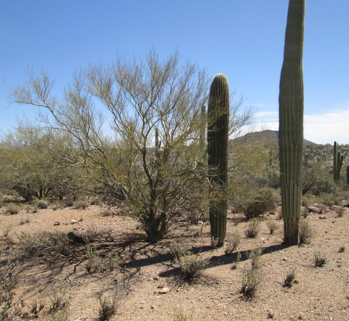 saguaro foothills 3