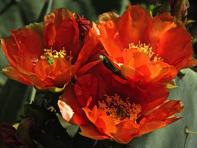 orange prickly pear