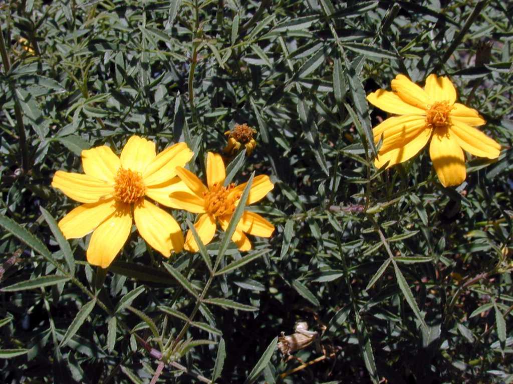 mount lemmon marigold