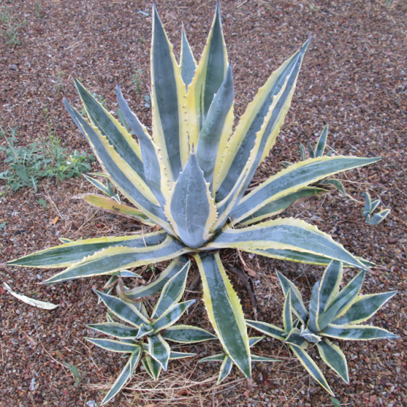 The Sunday Snatch featuring Yellow Striped Agave