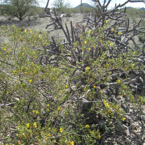 Structure + Fluff : Pairing up Creosote and Cholla