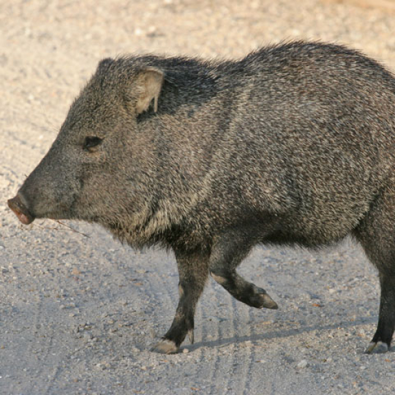"""Are You Gonna Stay the Night?"" - A Musical Dedication to the Neighborhood Javelinas"